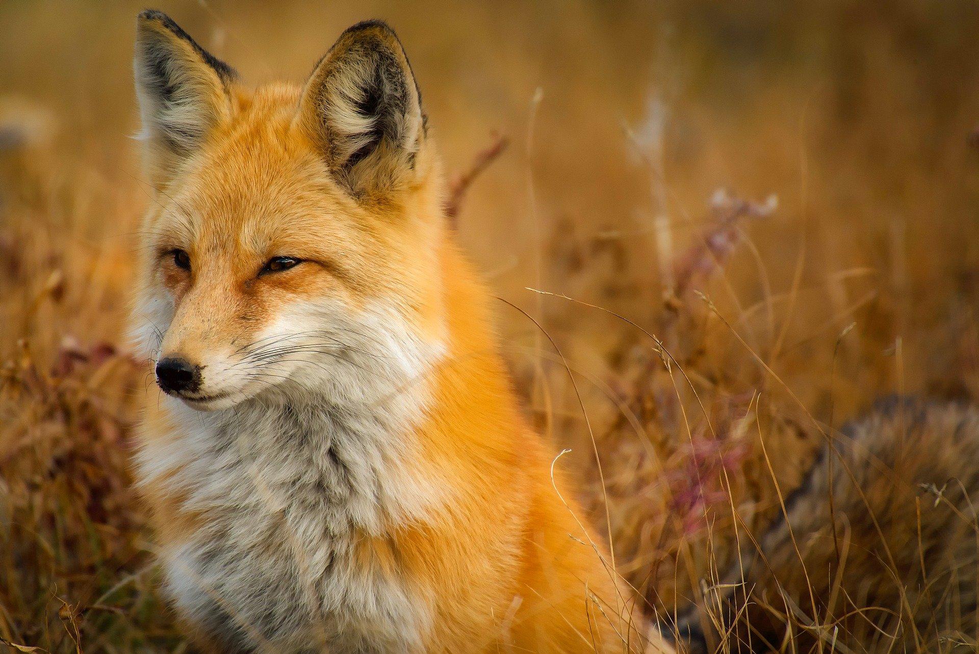 Zdjęcie przedstawia siedzącego lisa na tle suchych traw